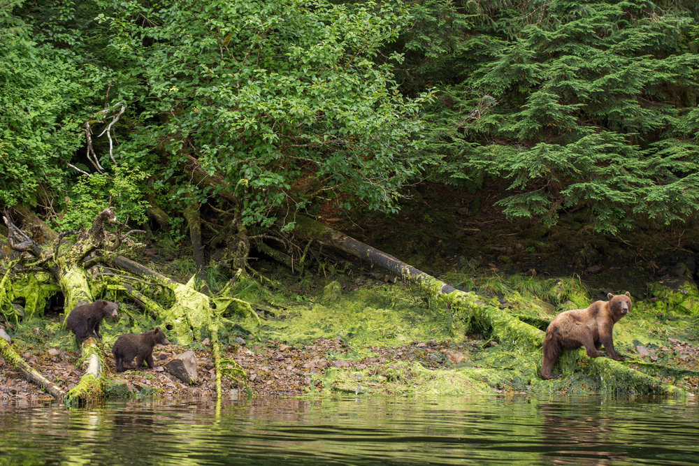 Brown bear sow with two new cubs of the year walk along the coast line of Southeast Alaska in a fresh water intertidal zone fishing for salmon.
