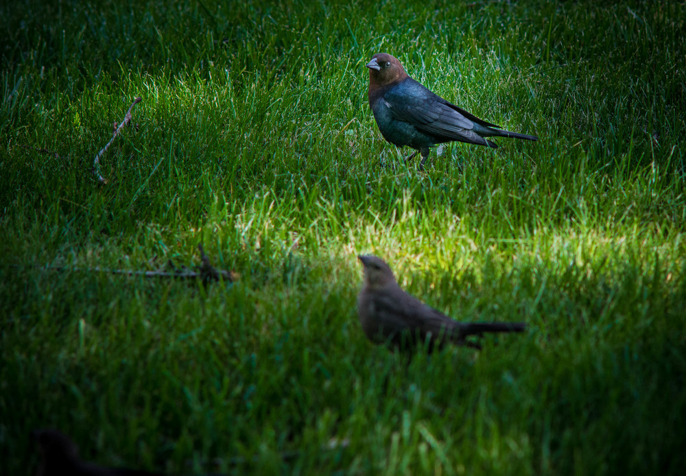 Marvin (top center),  the Brown-headed Cowbird outside my office.