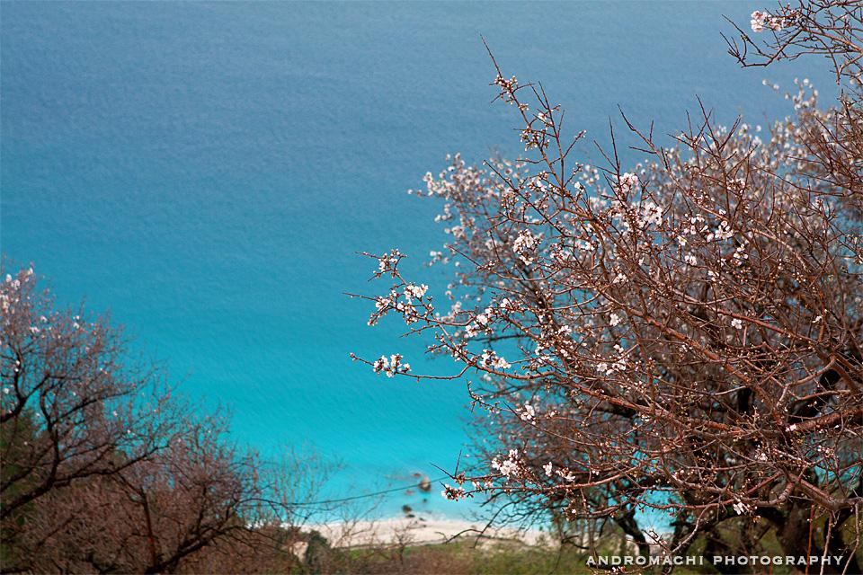 Almond tree in Kalamitsi