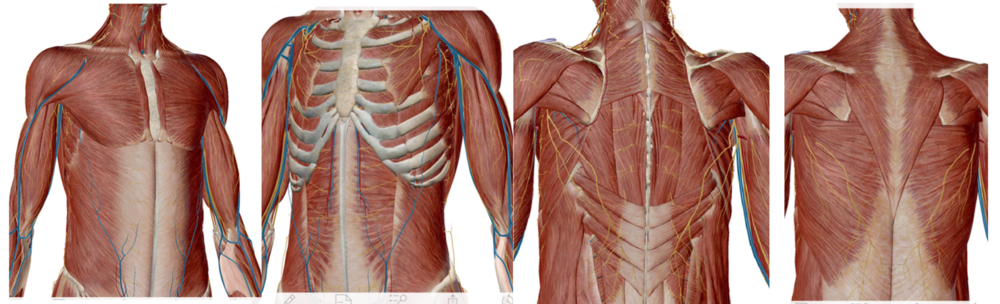 Superficial and deep layers of musculature within the torso