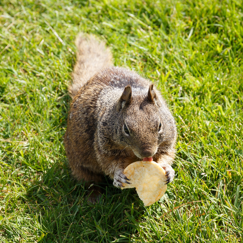 One of several super cute squirrels eating a potato chip we fed to it.