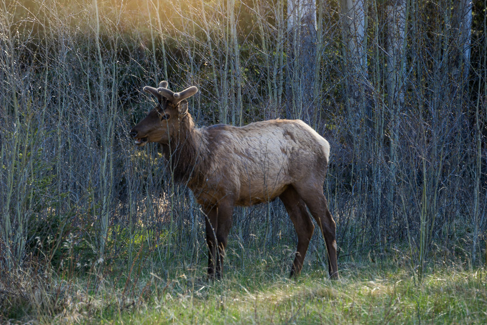Elk, Icefield Parkway, AB.