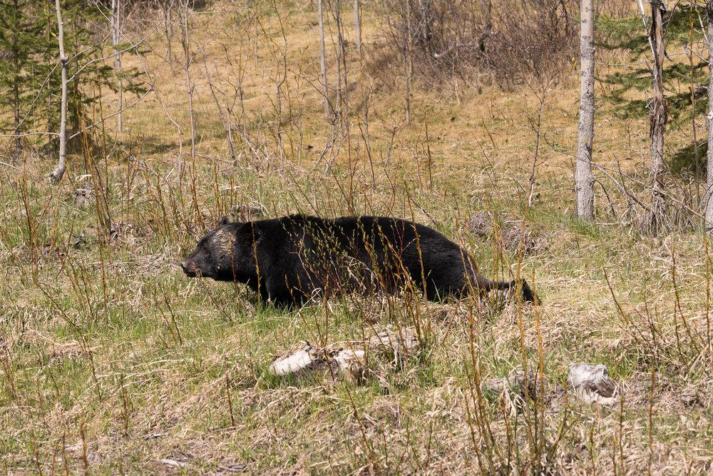 Black bear, Icefield Parkway, AB