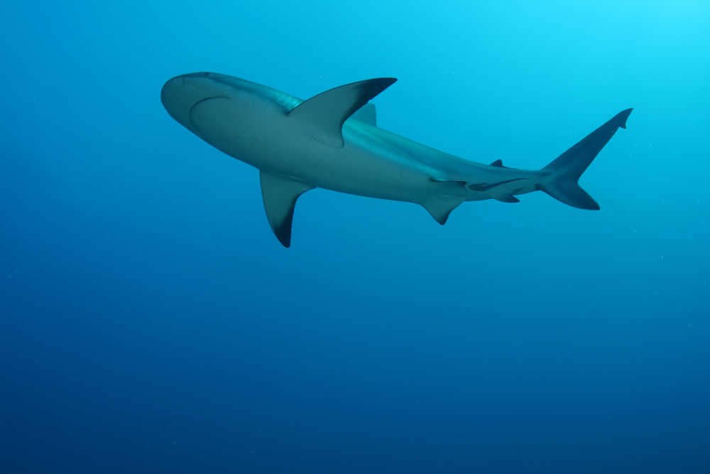 As you may have guessed, this shark is easily identified by the black marks on the tips of its fins.