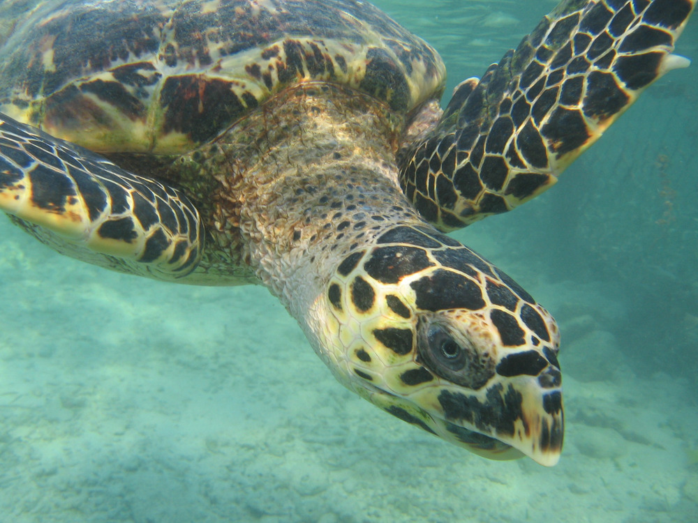 One of the many turtles we saw during our dives.  It is great to see such a healthy population!=