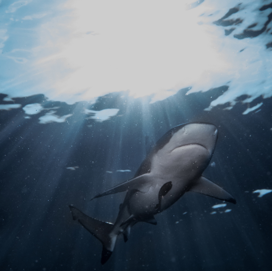 Belly of a black tip shark