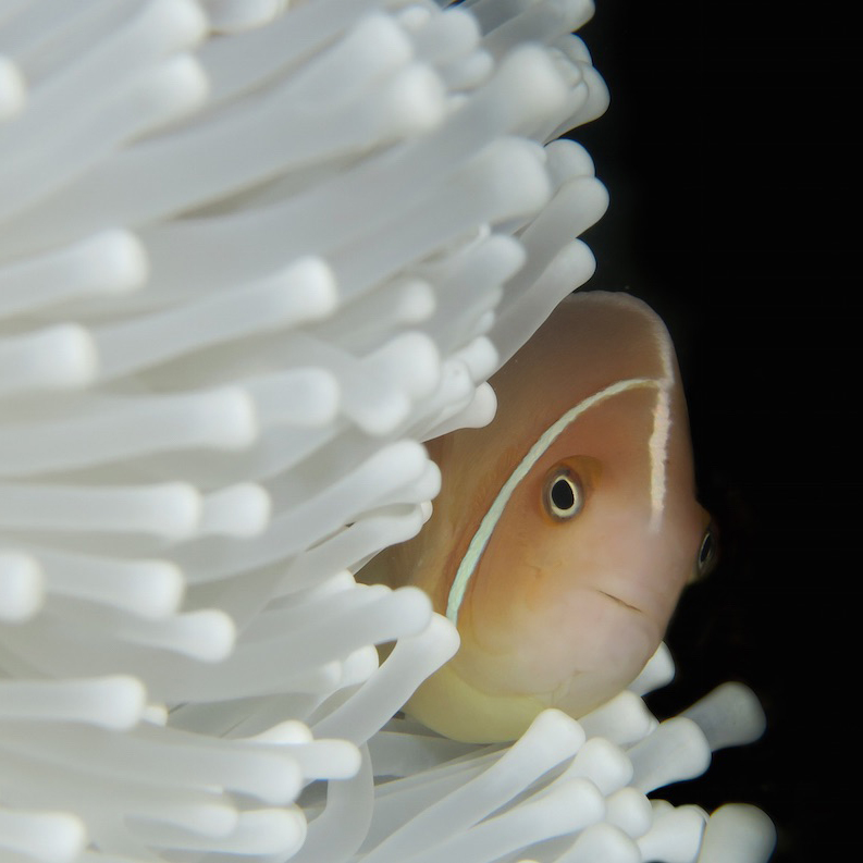 Pinklined anemonefish in white anemone