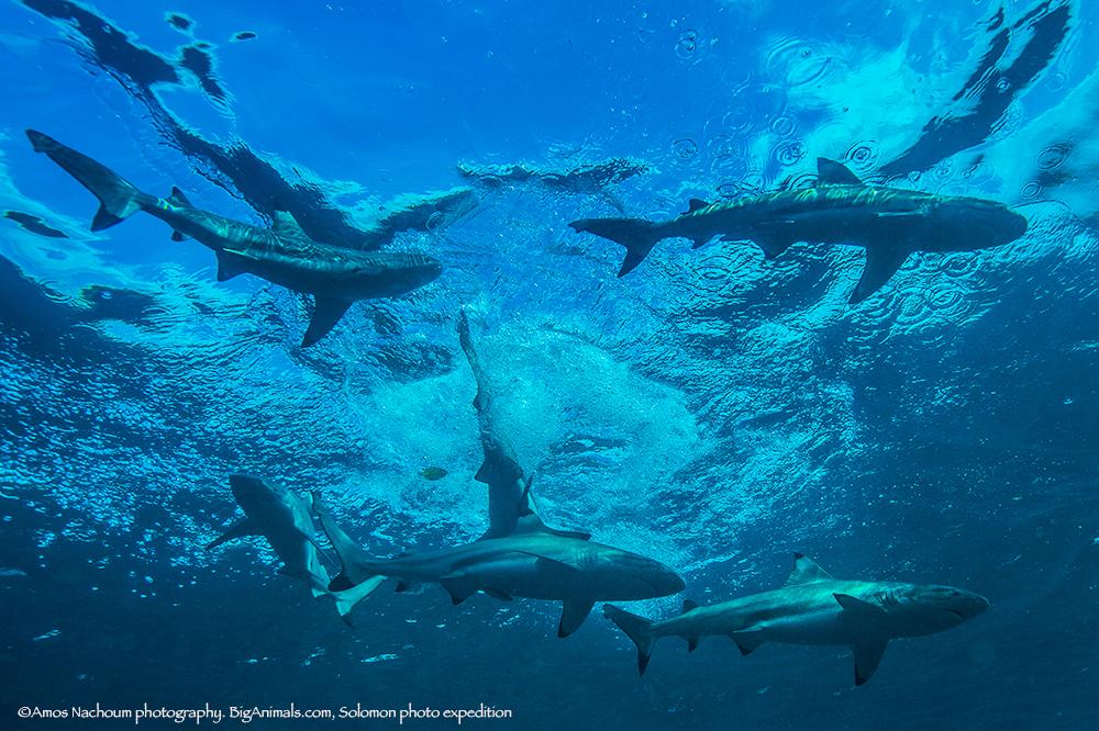 (s) Sharks 8727.jpg