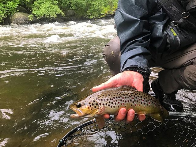 Summer showers have the rivers flowing great. Our resident trout certainly don't mind. . . . . . #fishing #flyfishingnation #flyfishing #flyfishingguide #catchandrelease #flytying #fishing #browntrout #wildtrout #troutfishing #trout #flyfishingjunkie #flyfishingaddict #cwcfishingco #getoutthere #explore #adventure #intothewild #wild #letemgosotheycangrow #troutbum #wildbrowntrout #orvis #orvisflyfishing #flyfishingphotography #onthefly