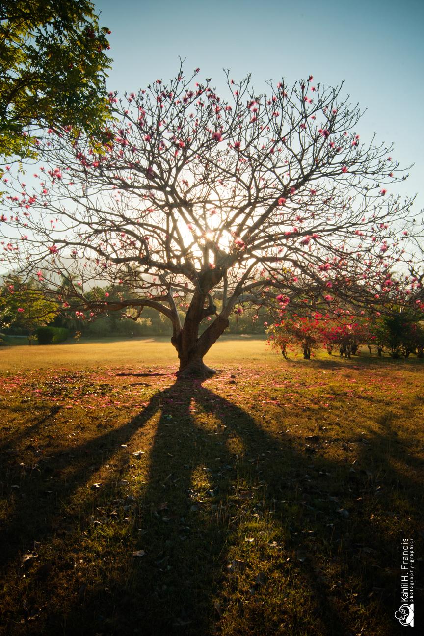 Shaving Brush Tree -  Hope Gardens