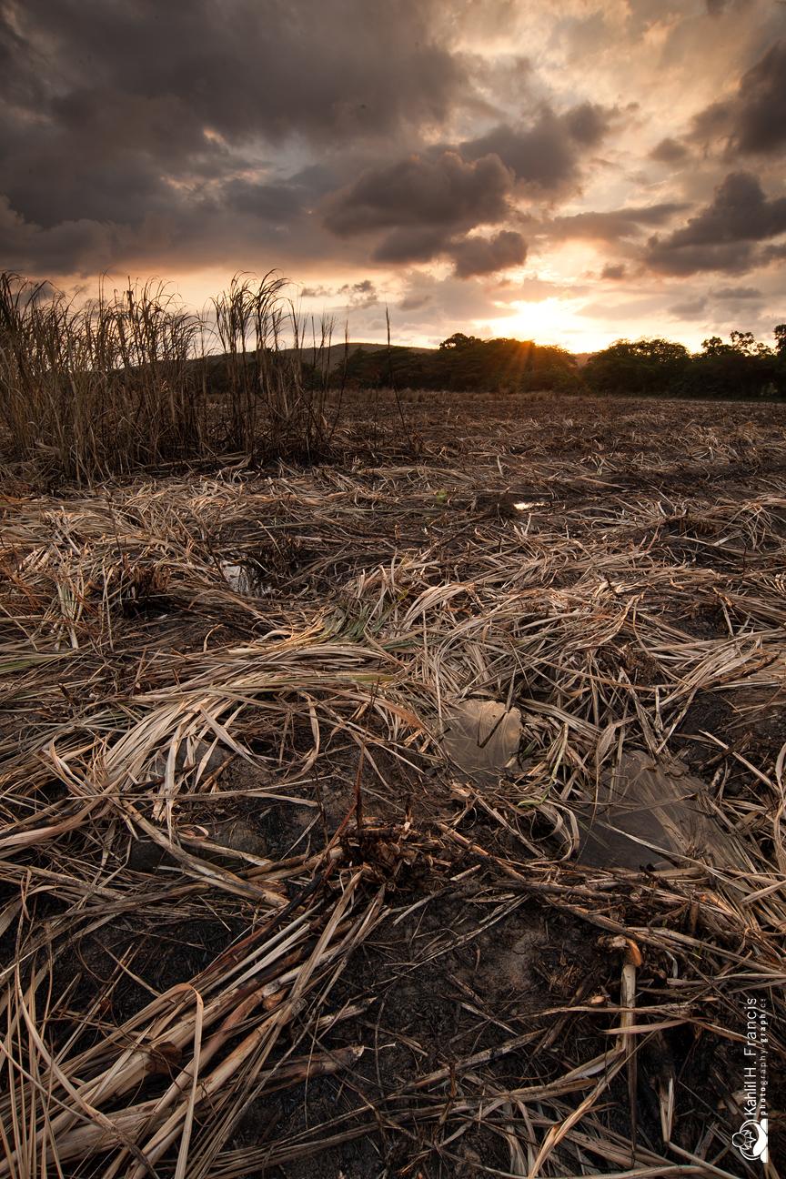 Burned Sugarcane - Caymanas