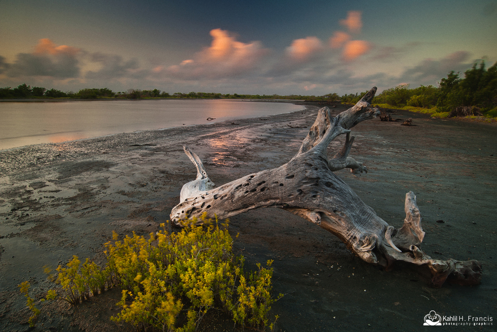 Dead Mangrove - Yallahs Pond at Sunrise - St. Thomas