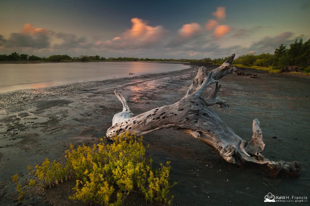 Dead Mangrove - Yallahs Pond at Sunrise - St. Thomas
