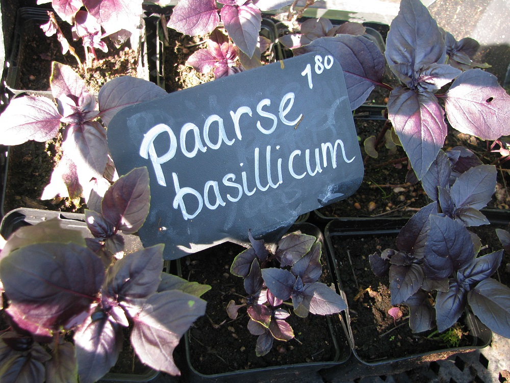 5. Paarse Basilicum.jpg