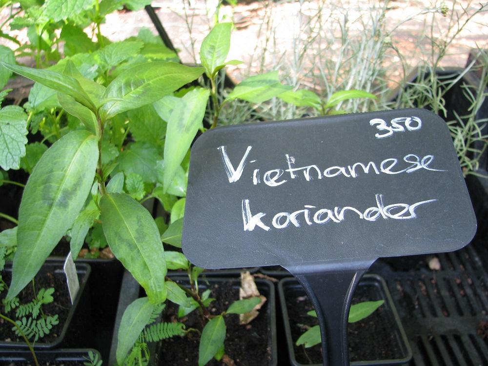 Vietnamese Koriander.jpg