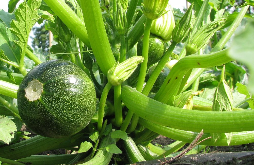 06-18 Courgette.jpg