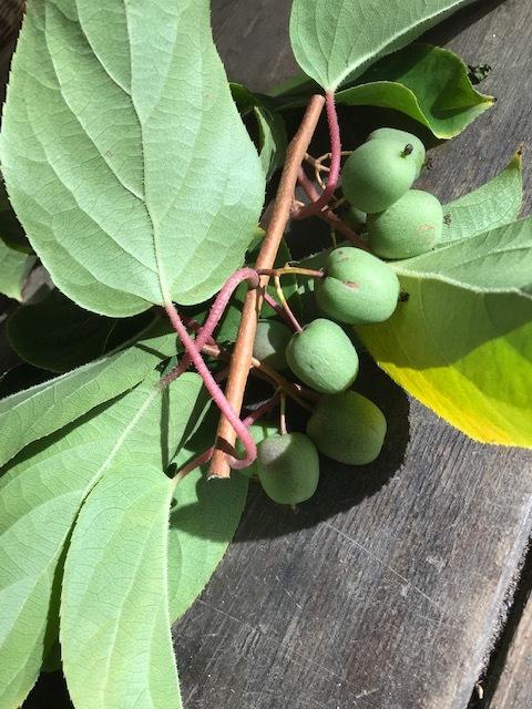kiwi berries from the restarted wall / kiwibessen van de gerestaureerde muur