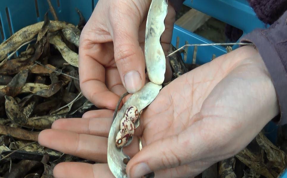 saving seeds borlotti.JPG