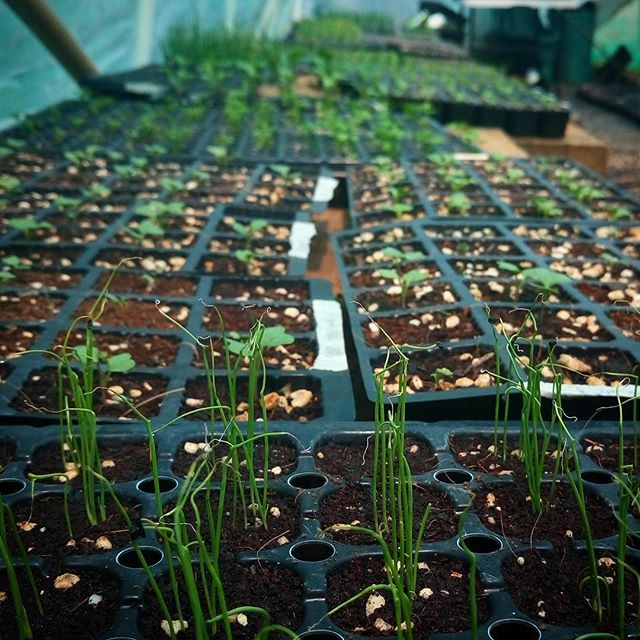 Seedlings. These little veg babies are being sown and planted out weekly in the market garden. If we want a constant supply of food for our CSA members and restaurant buddies then weekly seed sowing is crucial. It is constant work and a constant reminder of the amazing cultural relationship a market gardener has with nature. @mikedensham @smallgiants @atlasdining  #seedlings #farmlife #marketgarden #smallscalefarming #csa #lovinglife #atlasdining