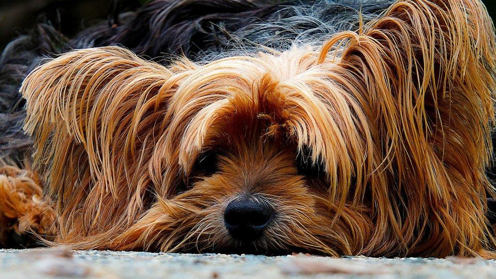 syk hund.jpg