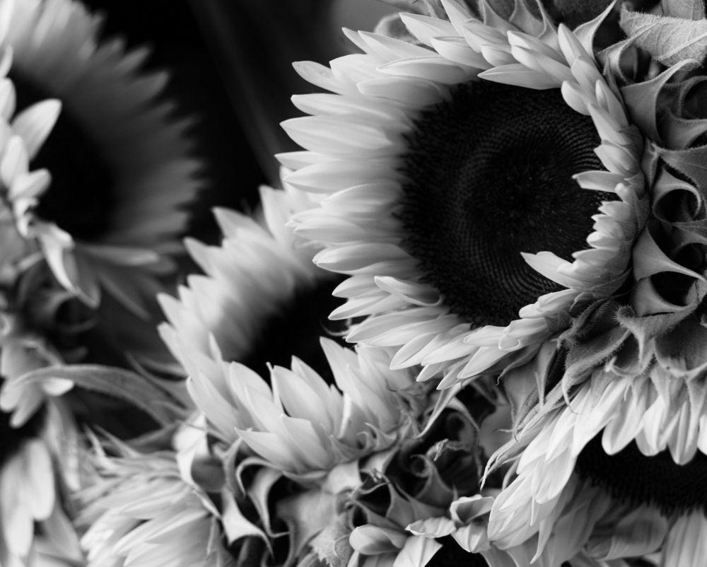 sunflowerbunch1.1.JPG