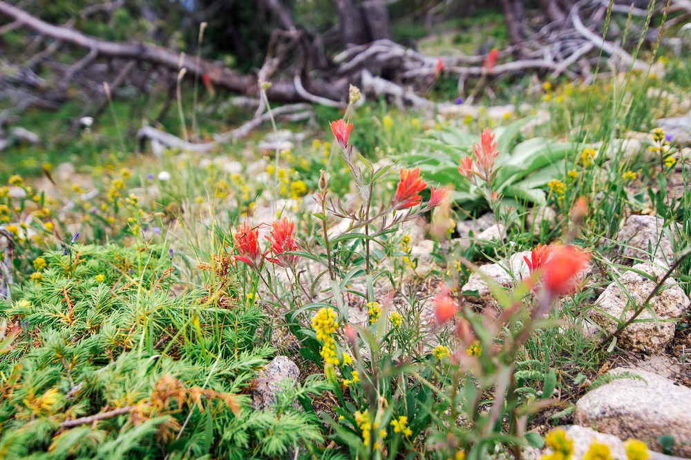 Alpine Wildflowers On Longs Peak