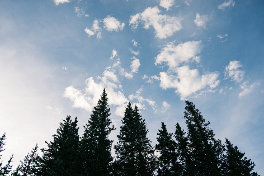 Pine Trees And Open Sky