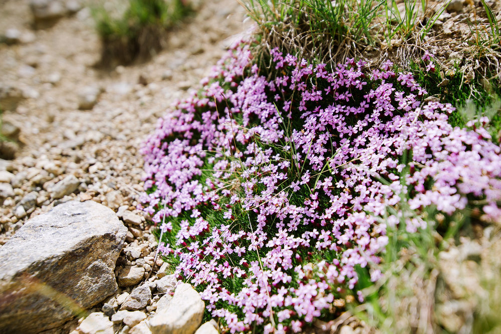 Alpine Flowers At Arapahoe Basin