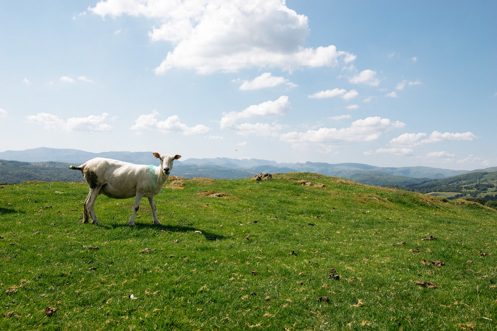 Sheep In Windermere, Lake District, United Kingdom