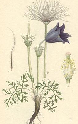 Dessin de Carl Axel Magnus Lindman, circa 1900