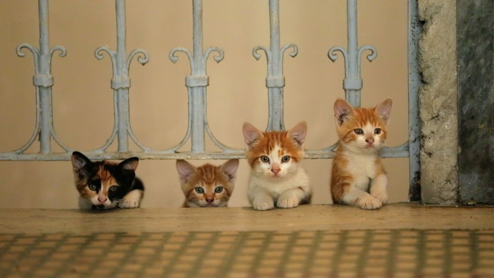 Kedi kittens.jpeg