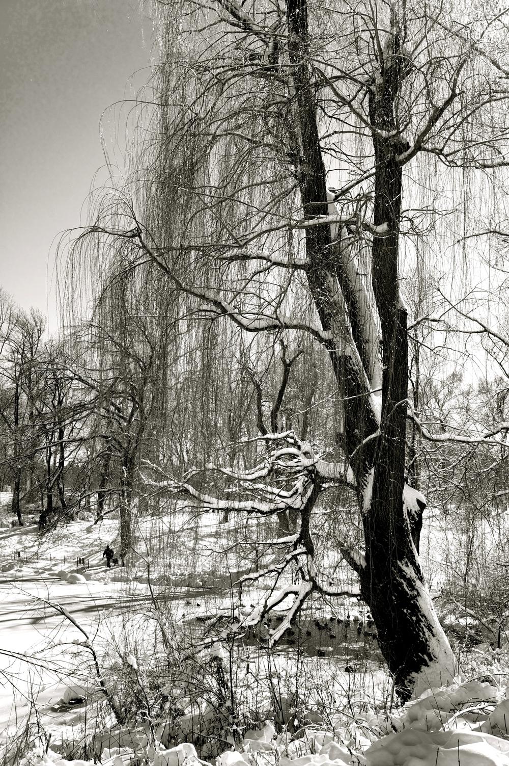 Winter Willow...