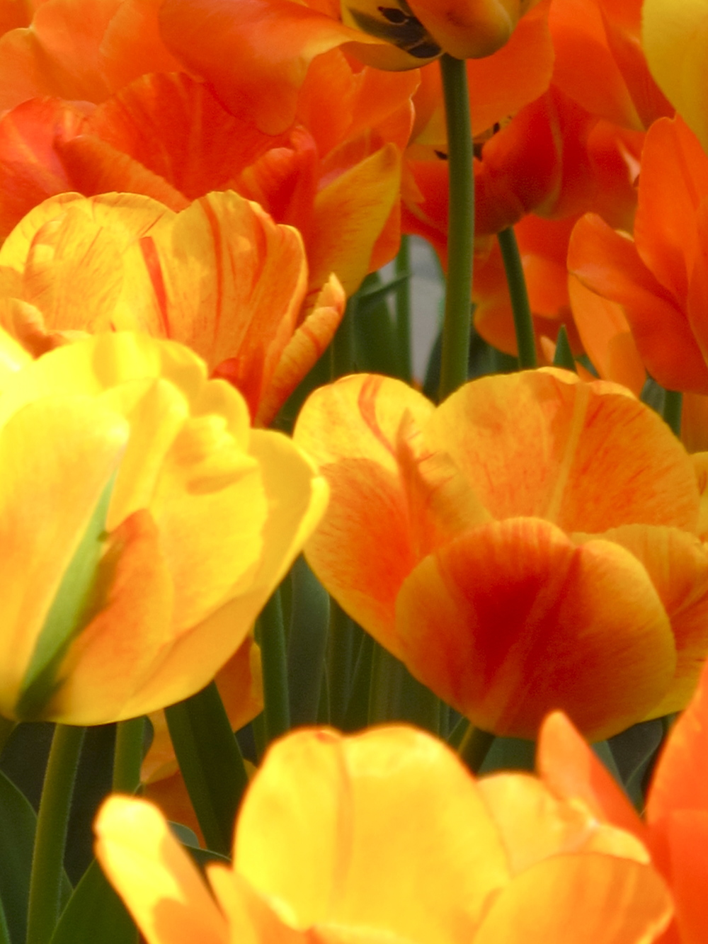 Yellow, Orange Tulips.JPG