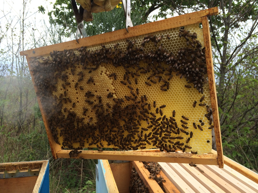 Brood cells are on the left; the four initial frames were moved from the swarm box to the full-sized hive.
