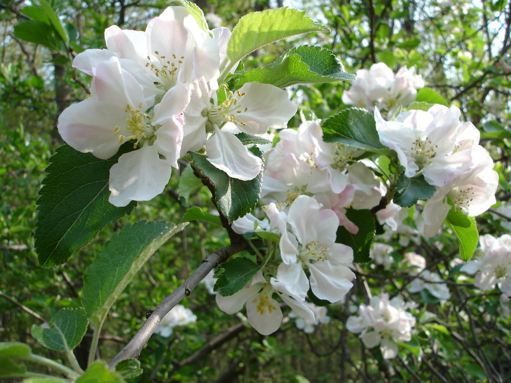 Apple Blossoms at The White Rabbit Inn