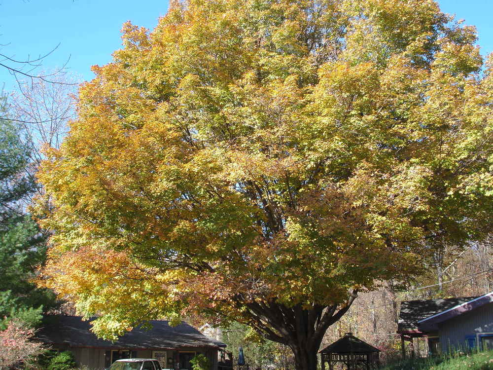 Maple Tree in Fall at The White Rabbit Inn