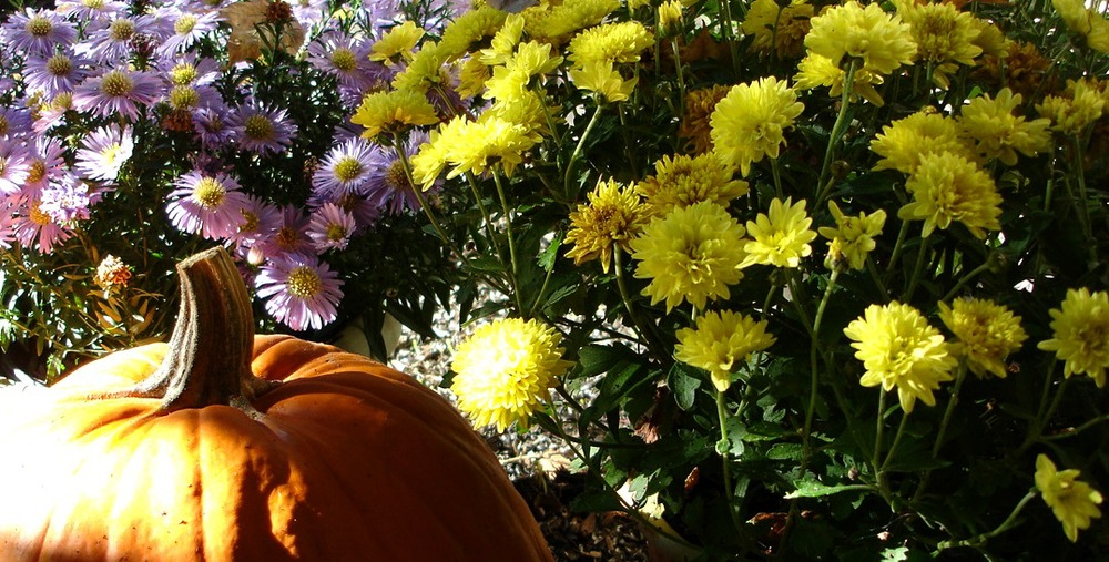 Michigan Pumpkin and Mums