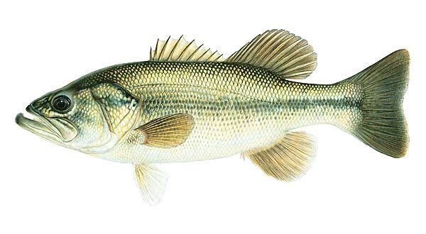 Fish species for sale whiskers catfish farm for Fish dream meaning pregnancy
