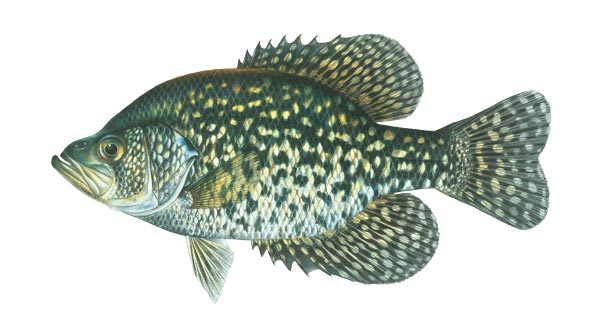 "Black Crappie are gamefish generally stocked in lakes. They often grow to 2 pounds plus. They can be difficult to manage in small ponds. They eat primarily small fish. These fish are NOT available June-September.   Sizes from 2""($0.80) to 4""($2.00 each) for special order"