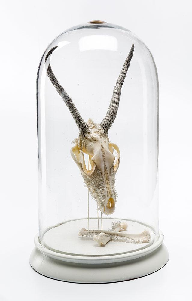 Osteology Study VII - Didelphidae