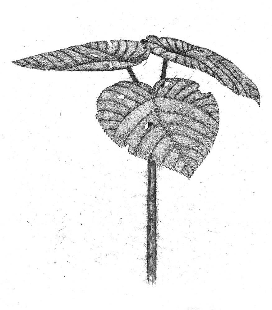 Stinging Tree