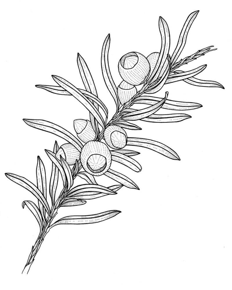 yew - Botany Coloring Book