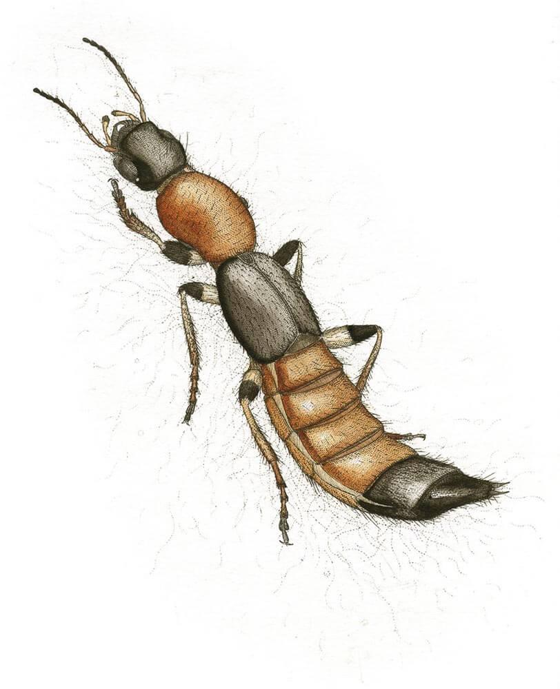 Paederis Beetle