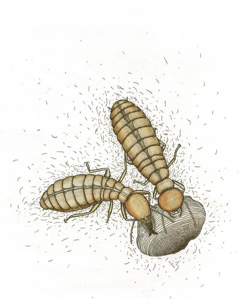Subterranian Termite