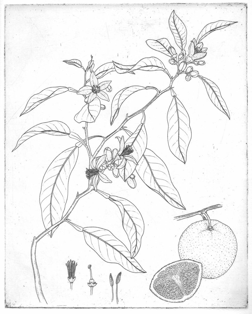 Orange Blossom Tattoo Design