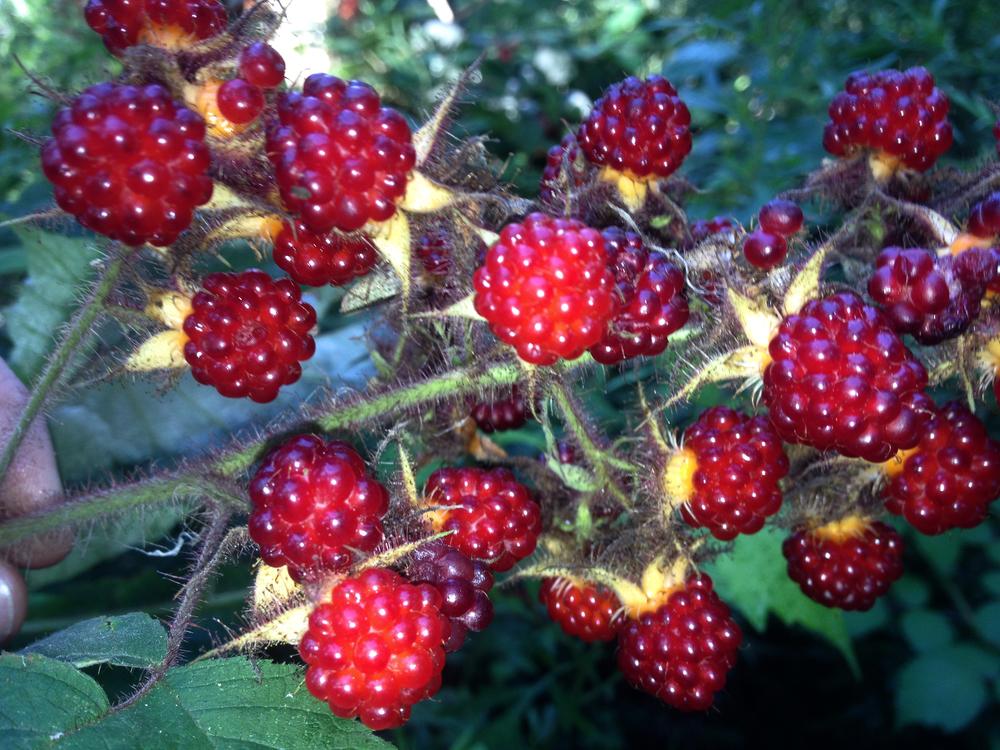rasberries_1M.jpg