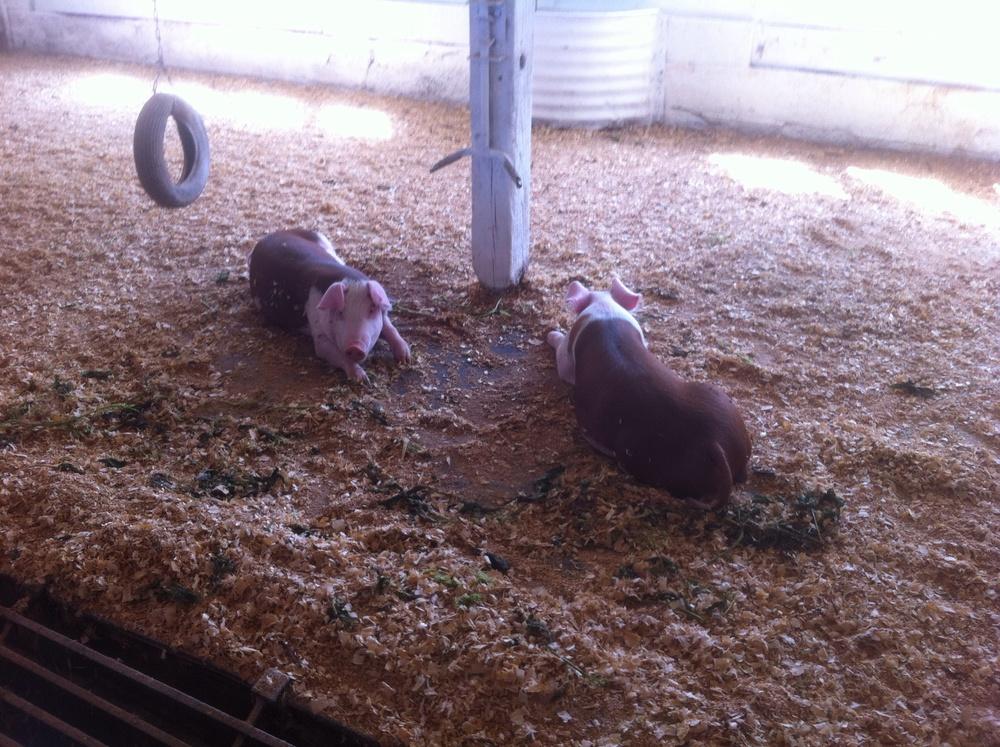 New Baby Pigs