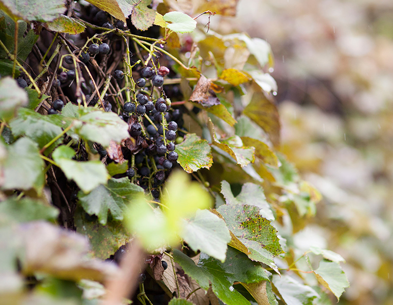 The-Farm-At-Dover-Garden-Detail-Grapes.jpg