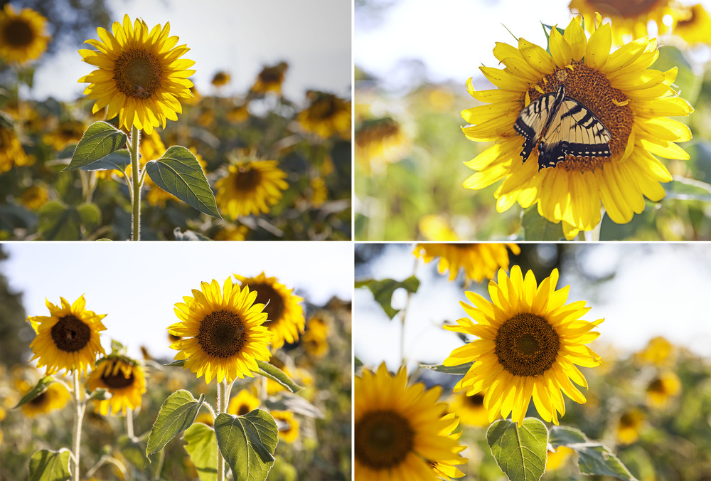 The Anderson Sunflower Field is a beautiful and unique location that I love to photograph every year.