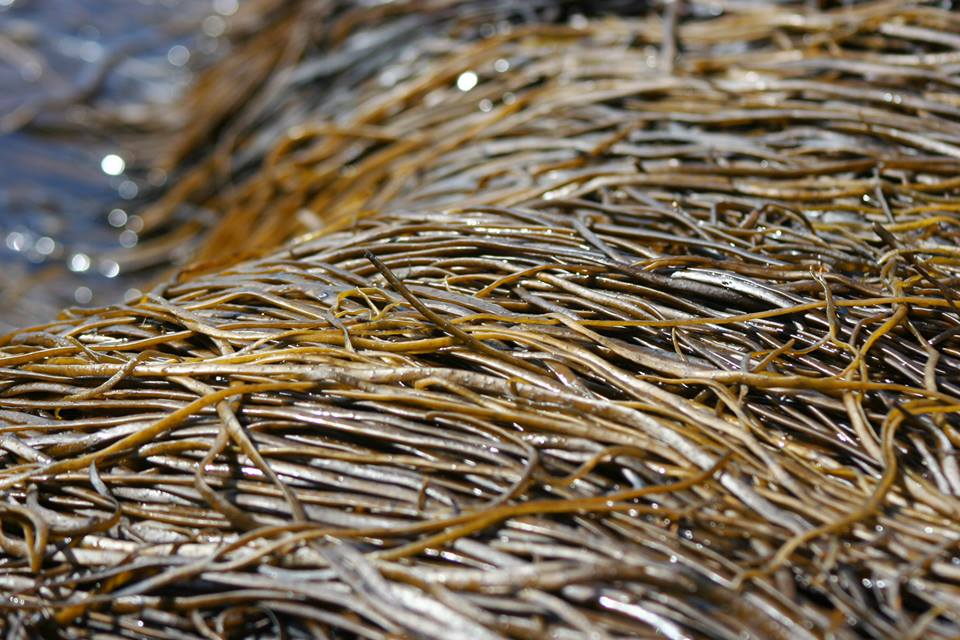 Sea spaghetti contains a healthy balance of vitamins, minerals and trace elements and is a good source of calcium and magnesium. It is a very tasty addition to both sweet (as seen in Mungo's sea biscuits)and savoury dishes.